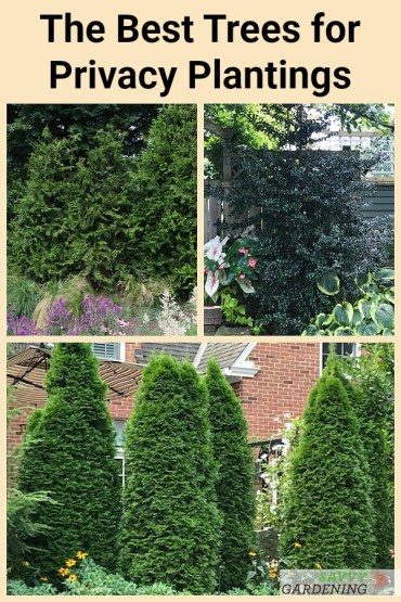 Evergreen trees for privacy: 8 low-maintenance choices