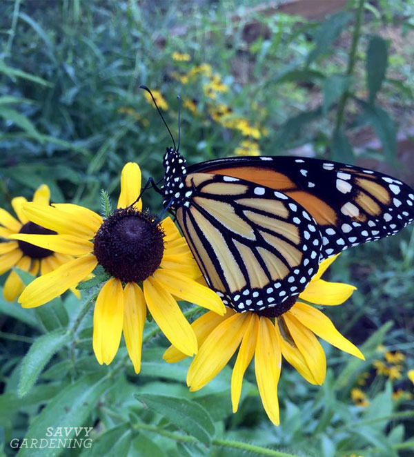 Black-eyed Susans attract butterflies and bees, and will continue to bloom well into late summer/early fall.