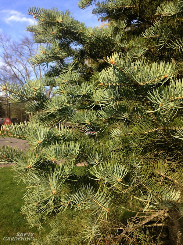 Concolor fir's dense growth makes a good living fence.