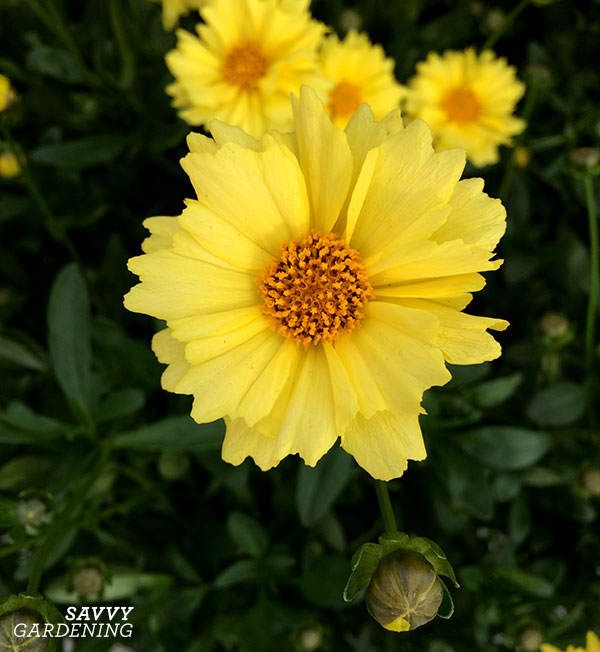 Coreopsis 'Solar Dance' has petals with pretty scalloped edges.