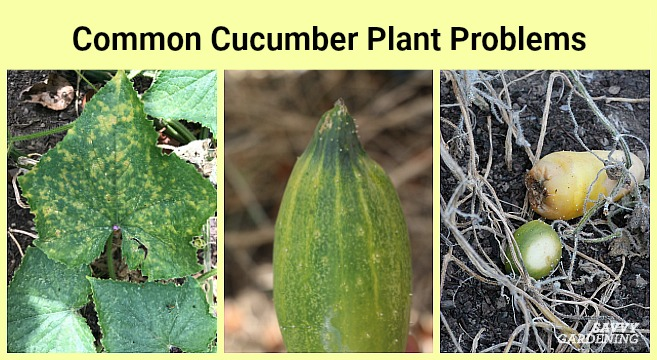 Get help identifying common cucumber pathogens and pests