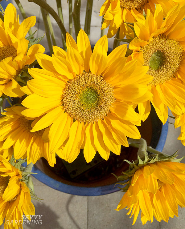 Sunflowers come in all shades and sizes for the garden, and are super easy to direct-sow from seed.
