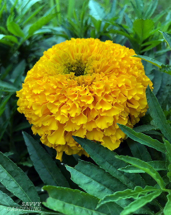 Marigold Big Duck Gold F1 is a 2019 All-America Selections winner.