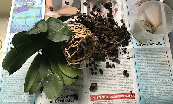 Phalaenopsis Orchid Repotting The Step By Step Process