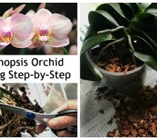 When is it time to repot a Phalaenopsis orchid