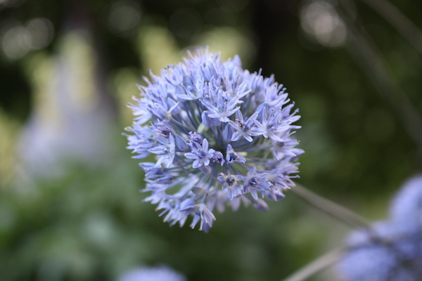 The soft blue hue of this mid-spring bulb is a great addition to the garden.
