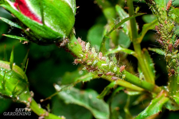 Aphids are a common sight on many different garden plants.