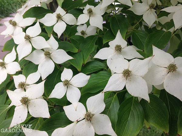 The petals of the kousa dogwood are actually showy bracts.