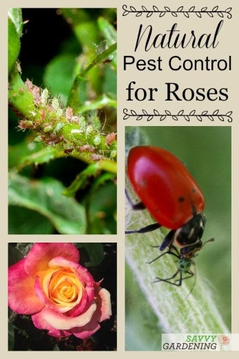 Natural pest control for roses.