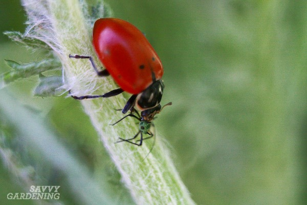 Ladybugs are one of the beneficial insects that help manage pests in gardens.
