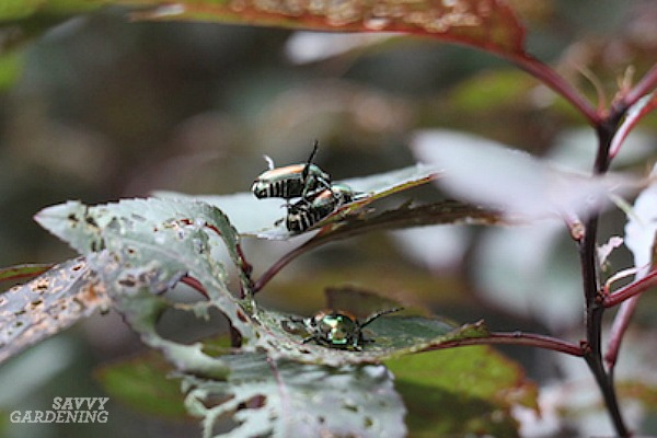 Japanese beetles are one of several common pests of roses.