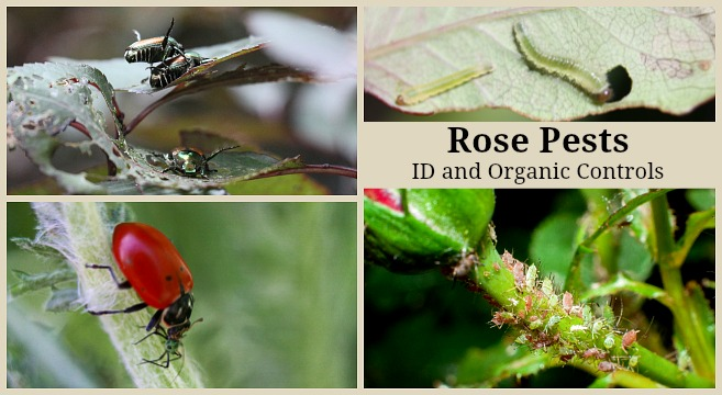 Rose Pests Identification And Organic Controls For The Landscape