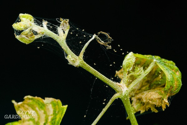 Spider mites and their organic control