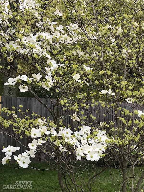 Wolf eyes is a cultivar of the Kousa dogwood flowering tree.