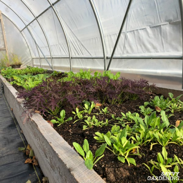 Many salad greens are cold tolerant