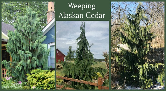 Weeping Alaskan cedars are among the most beautiful evergreen trees.