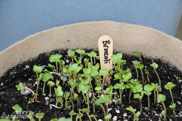 How to grow broccoli sprouts and microgreens in soil.