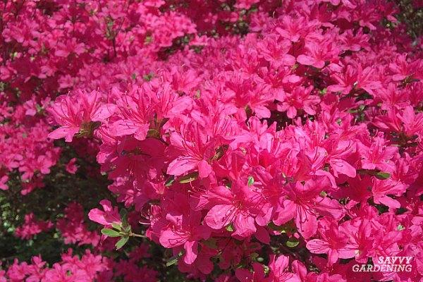 azaleas are early spring flowering shrubs