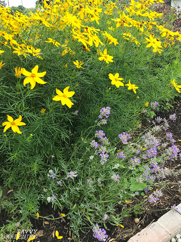 Coreopsis 'Zagreb' in my front yard garden.