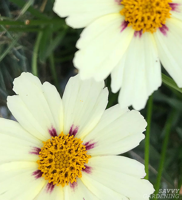 The shape and colour of Coreopsis 'Star Cluster' really stands out compared to other tickseeds that usually feature red or burgundy and deeper shades of yellow.