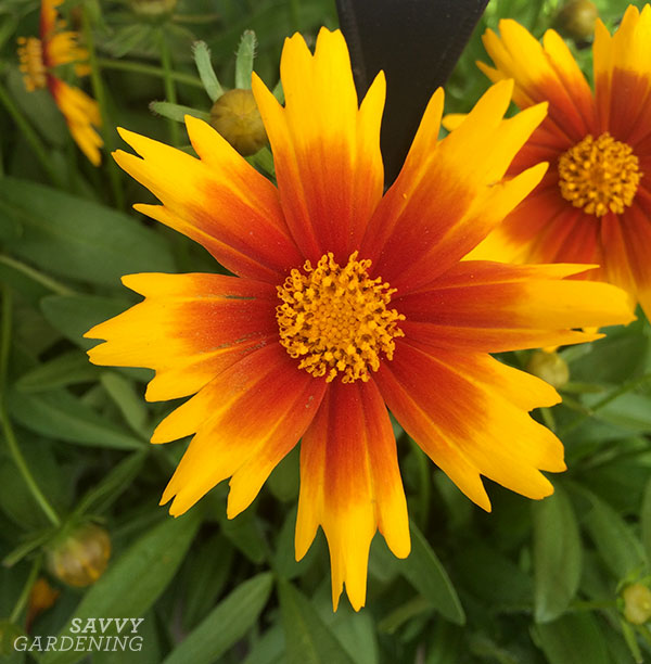 Coreopsis 'Gold & Bronze' resembles a starburst.