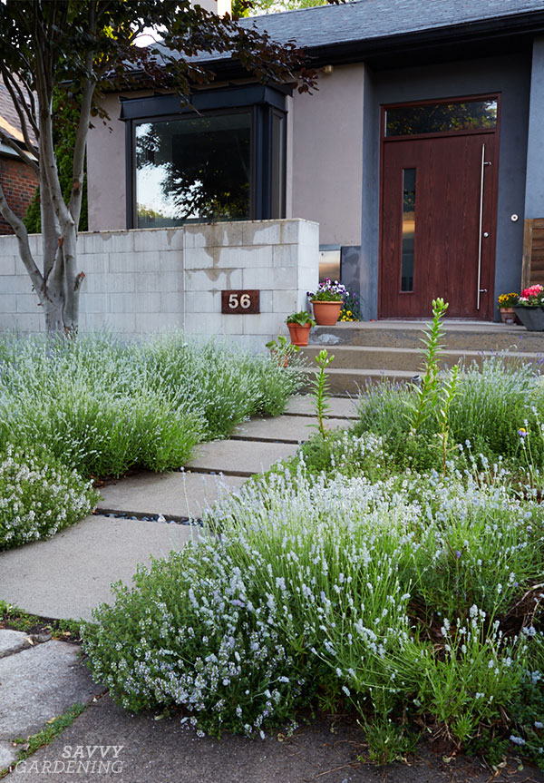 Lavender and other pollinator-friendly plants create a mini meadow in this front yard garden