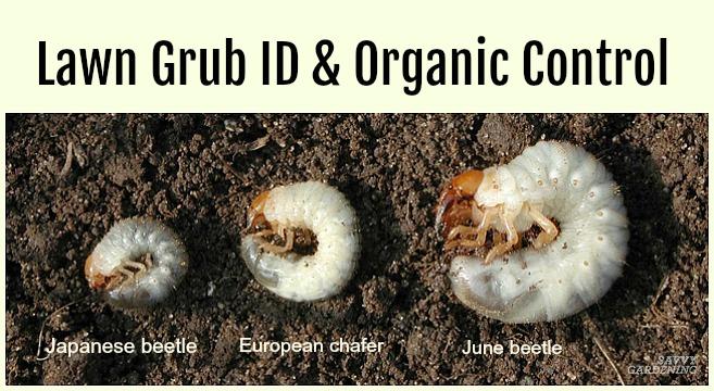 Grub worm organic control