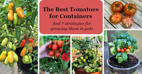 The best tomatoes for containers and 7 strategies for growing them in pots