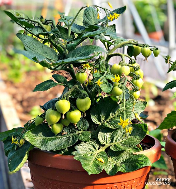 Heartbreaker tomatoes are ideal for containers