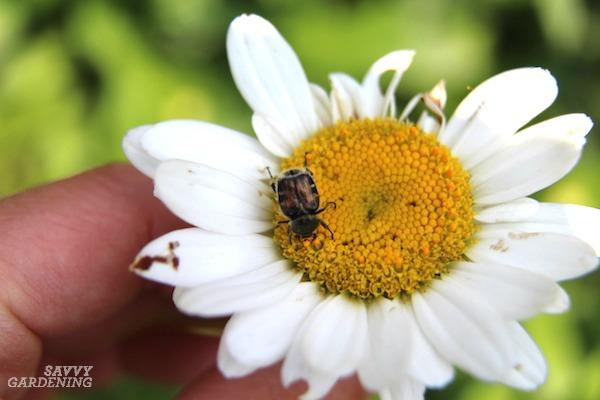 Oriental beetle grubs cause damage similar to other lawn grubs.