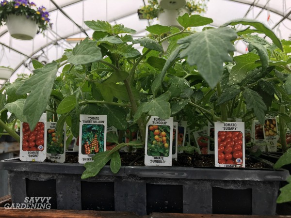 How to start a vegetable garden using transplants