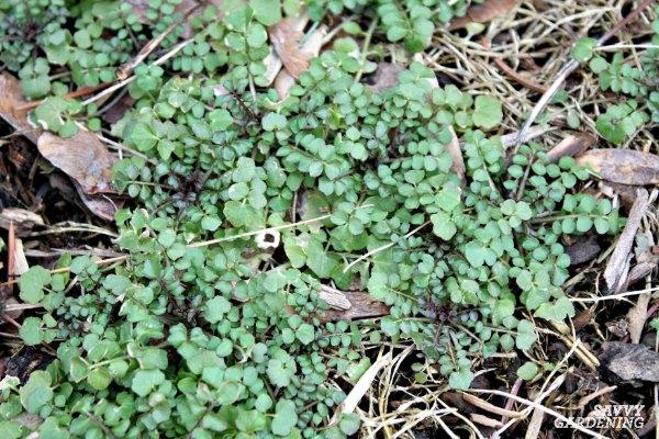 hairy bittercress weed
