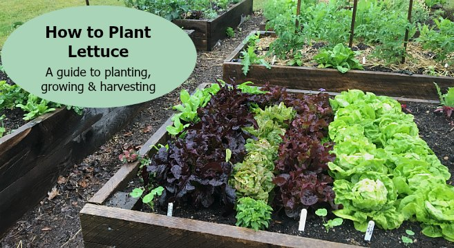 How to plant lettuce in a garden