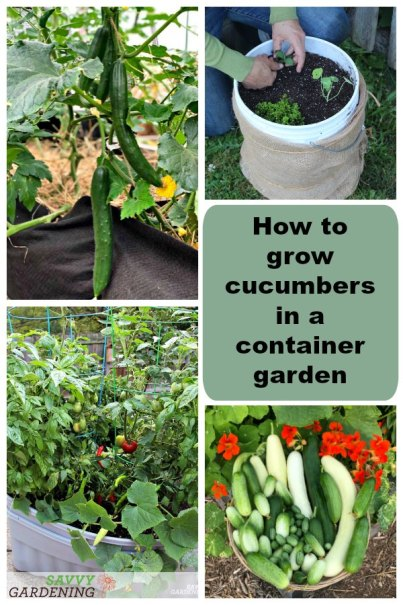 Learn how to grow cucumbers in a container garden