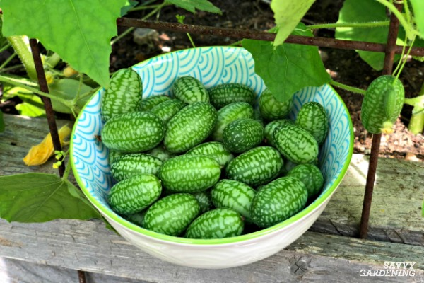 Learn when to harvest cucamelons