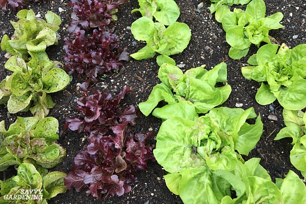 There are many varieties of lettuce to plant