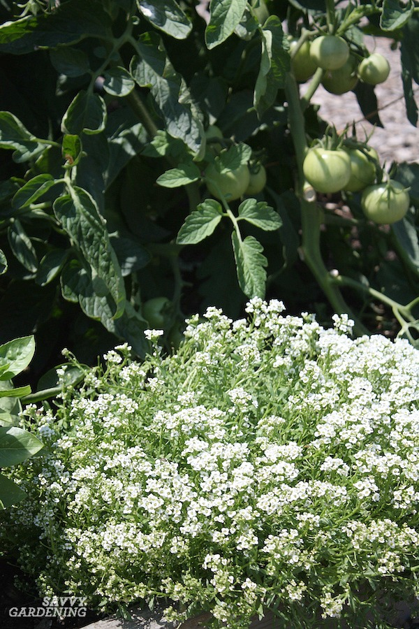 Sweet alyssum is a great companion plant for tomatoes.