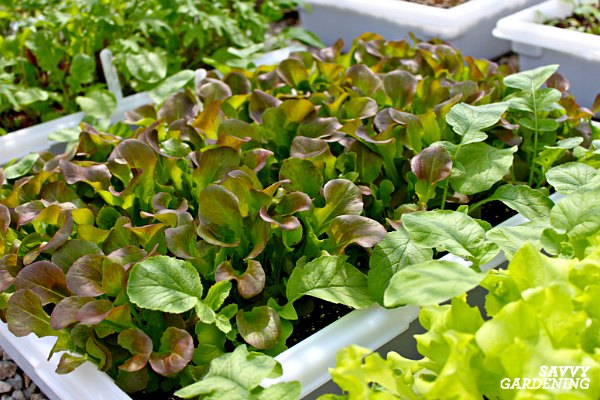 Most salad greens can be planted in containers