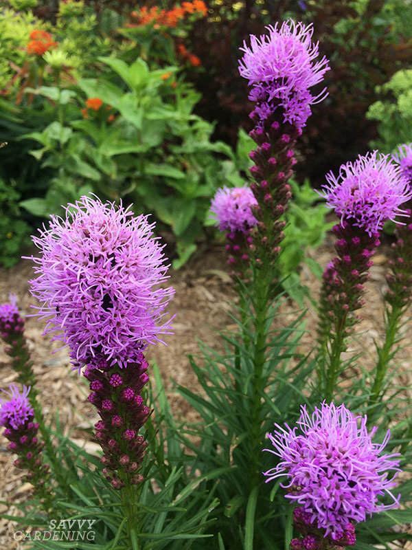 The bees and butterflies love liatris, but apparently the deer do not.