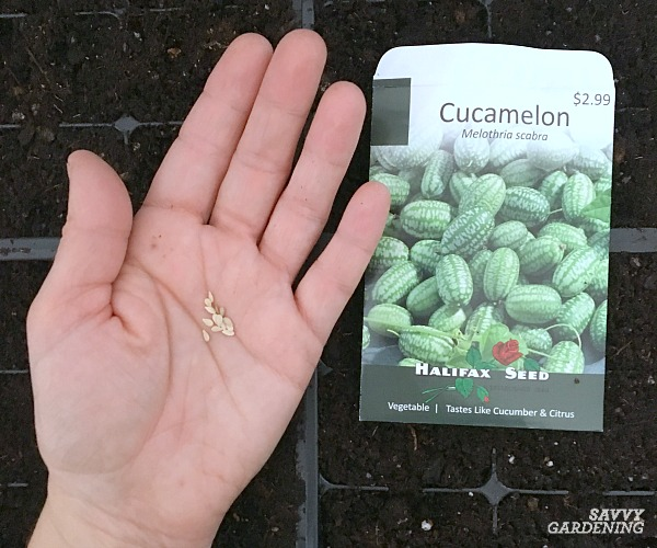 Planting cucamelon seeds