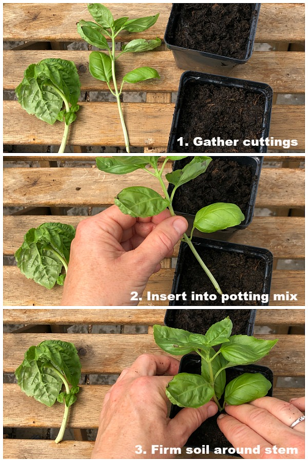 step by step guide to rooting basil in soil