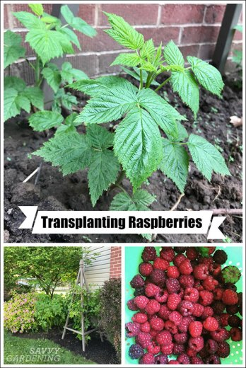 transplanting raspberries to grow more fruit or give to others