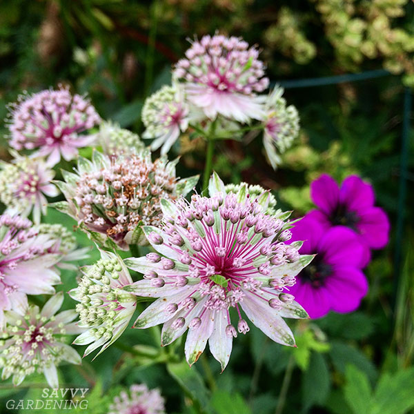 The pink and green astrantia that started my love of astrantia.