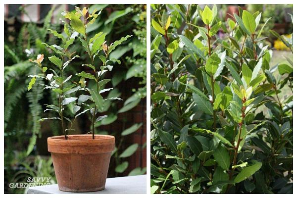 How to grow bay laurel