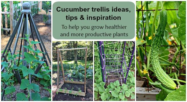 growing cucumbers vertically on trellises