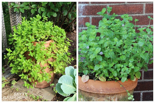 Mint: An ideal herb for shade
