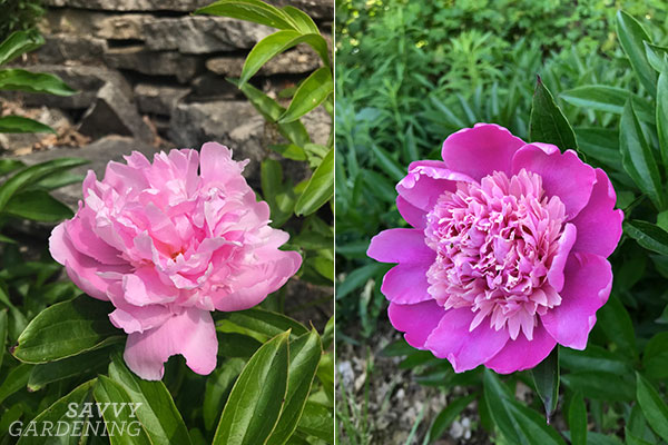 If you're looking for pink perennials that bloom in the spring, plant peonies