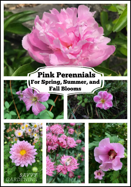 Pink perennials: Choices for spring, summer, and fall blooms