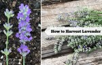 How to harvest lavender for bouquets, culinary uses, and DIY projects