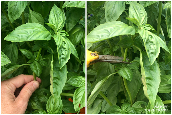 cutting back basil to promote new growth